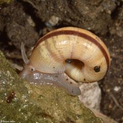 Tropidophora semidecussata (Miary, Madagascar)