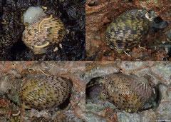 Nerita quadricolor (Shimoni, Kenya)