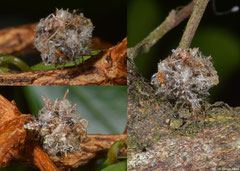 Green lacewing larva (Chrysopidae sp.), Fianarantsoa, Madagascar