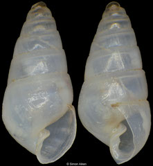 Odostomia sp. (Philippines, 3,3mm) F+++ €3.50 (specimens for sale are 3.3-4.0mm and are of the same quality as the specimen illustrated)