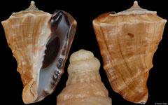 Vasum truncatum triangulare (South Africa, 72,1mm)