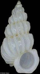 Epitonium crassicostatum (Philippines, 4,7mm)