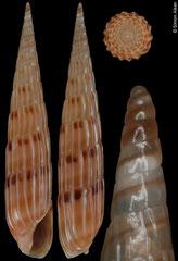 Hastula lepida (Senegal, 23.5mm). F++ €5.00