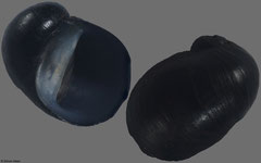 Theodoxus prevostianus (Hungary, 5,5mm)