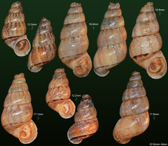 Crossepoma vermiculatum (Dominican Republic) F++ (specimens for sale are either 16mm+ [female, €7.50] or 13mm+ [male, €5.50] and are of the same quality as the specimens illustrated)