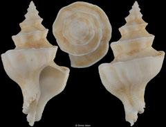 Mipus gyratus (India, 47,1mm)