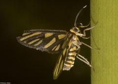 Wasp moth (Amata sp.), Balut Island, Philippines