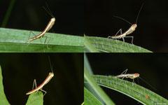 Praying mantis (Mantidae sp.) nymph, Broome, Western Australia
