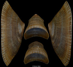 Cymbula compressa (South Africa, 104,4mm)