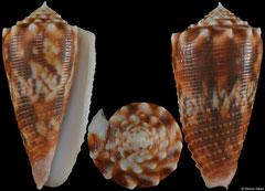 Conus moluccensis (Philippines, 44,3mm)