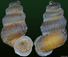 Wrightudora garridoiana (Cuba, 8,9mm) F++ €5.00 (specimens for sale are 8-9mm and are of the same quality as the specimen illustrated)