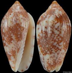 Plicoliva zelindae (Brazil, 19,7mm) F+/F++ €25.00