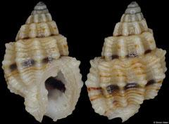 Nassarius cinctellus (Philippines, 6,3mm) F+++ €2.50