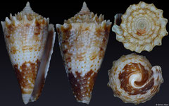 Conus chiangi (Philippines, 18,2mm) F+/F++ €10.00