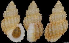 Alvania fenestrata (South Africa, 3,1mm)