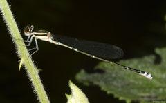 White-legged damselfly (Platycnemididae sp.), Fianarantsoa, Madagascar