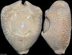 Cypraea caputviperae (fossil) (Indonesia, 47mm)