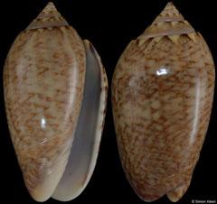 Oliva olssoni (Pacific Panama, 34,6mm)