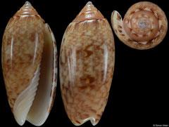 Americoliva reticularis form 'ernesti' (Caribbean Panama, 37,1mm)