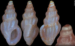Anacithara sp. (Philippines, 5,2mm)