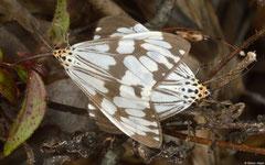 Magpie moths (Nyctemera coleta), Bokor Mountain, Cambodia