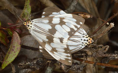 Magpie moths (Nyctemera adversata), Bokor Mountain, Cambodia