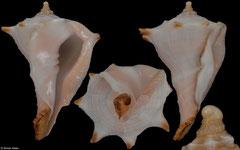 Tudivasum zanzibaricum (Tanzania, 47,5mm)