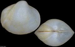 Poromya sumatrana (Philippines, 6,5mm)