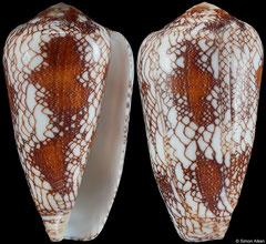 Conus pennaceus (Mozambique, 49,3mm)