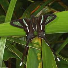 Green dragontail (Lamproptera meges annamiticus), Bokor Mountain, Cambodia