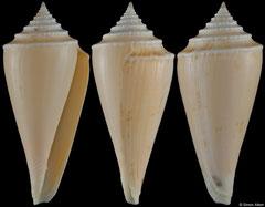 Conus teramachii (Madagascar, 72,4mm)