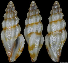 Guraleus sp. (Philippines, 6,4mm)