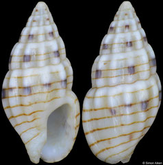 Anachis gaskoini (Pacific Mexico, 7,9mm)