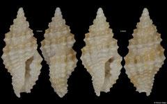 Acrista sp. (Philippines, 3,5mm, 3,4mm)