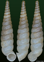 Brachypodella imitatrix (Dominican Republic, 10,7mm) F+++ €15.00