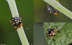 Stink bug (Asopinae sp.) nymph, La Cumbre, Dominican Republic