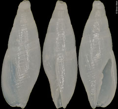 Carinomitra saltata (Tuamotu, 5,4mm)