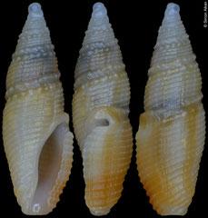 Otitoma cyclophora (Philippines, 7,2mm)