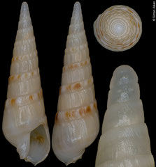 Terebra swinneni (Cape Verde, 12,3mm)