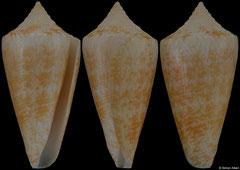 Conus harlandi (Caribbean Honduras, 21,3mm) F+++ €46.00