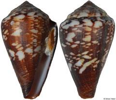 Conus isabelarum (Cape Verde, 27,5mm)