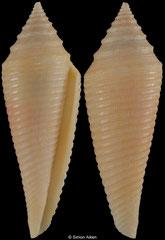 Conus insculptus (Thailand, 41,8mm)