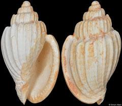 Austroharpa kendricki (Western Australia, 31,7mm) (Pliocene fossil)
