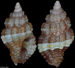Hemilienardia sp. (Philippines, 3,2mm, 3,4mm)