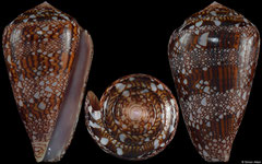 Conus dalli (Pacific Panama, 48,0mm)