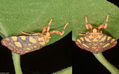 Footman moth (Barsine cuneonotata), Balut Island, Philippines