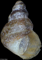 Laevilittorina umbilicata (South Shetland Islands, 2,2mm)