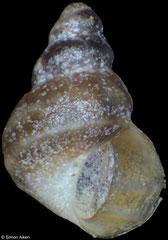 Laevilittorina umbilicata (South Shetland Islands, 2,2mm)