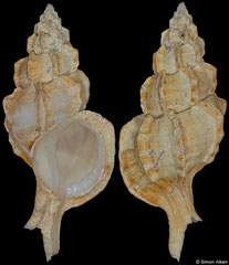 Dermomurex bobyini (Philippines, 45,5mm) F+ €20.00