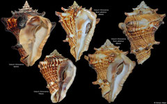 Vasum rhinoceros, and form 'attolinoi' (Tanzania)